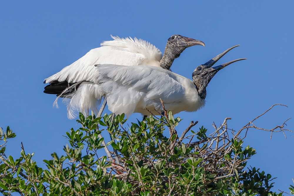 Wood_Stork_Courting_v2_76A4385