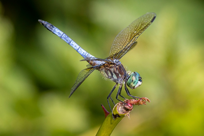 Blue Dasher_v2_f16_420mm_DM 6_19_76A0627 copy