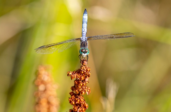 Blue_Dasher._male_v2_420mm_2img_pan_6_9_DM