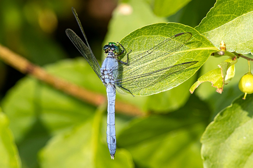 Eastern_Pondhawk_Male_v2_420mm_f16_6_19_420_76A0674
