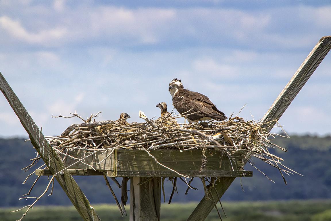 Osprey_Nest_v1_Brig_6 19_1200mm_76A0507