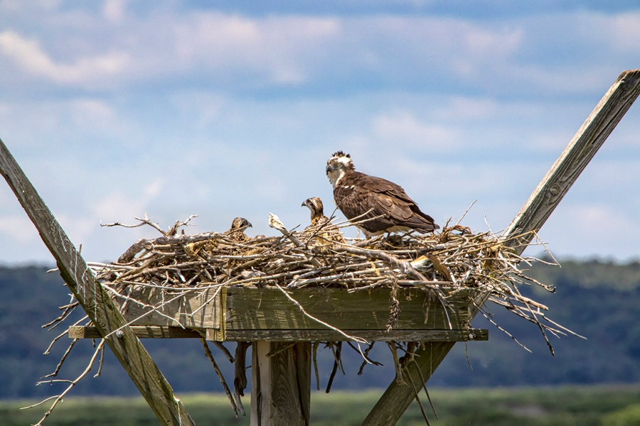Osprey_Nest_v1_Brig_6 19_1200mm_76A0507