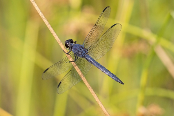 Slaty_Skimmer_male_v2_420mm_f8_6_9_DM_76A0723
