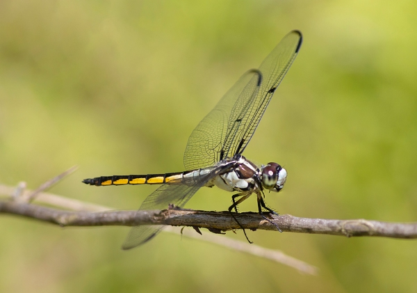 Great Blue Skimmer_FM_DM_300_1_4X_v3_5746