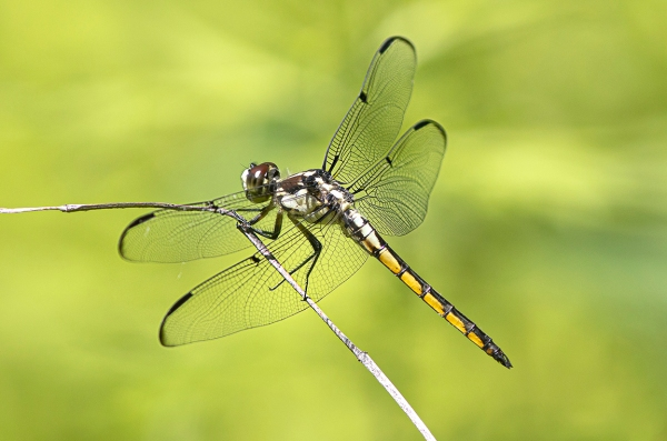 Great Blue_Skimmer_V2_FM_DM400mm_1_4X_ v1