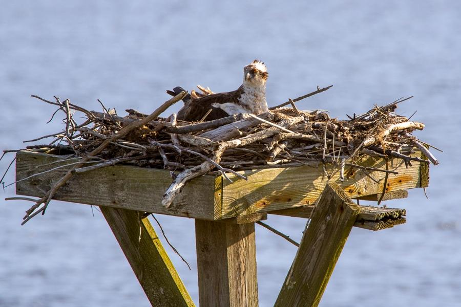 Osprey on Nest_v2_76A7117