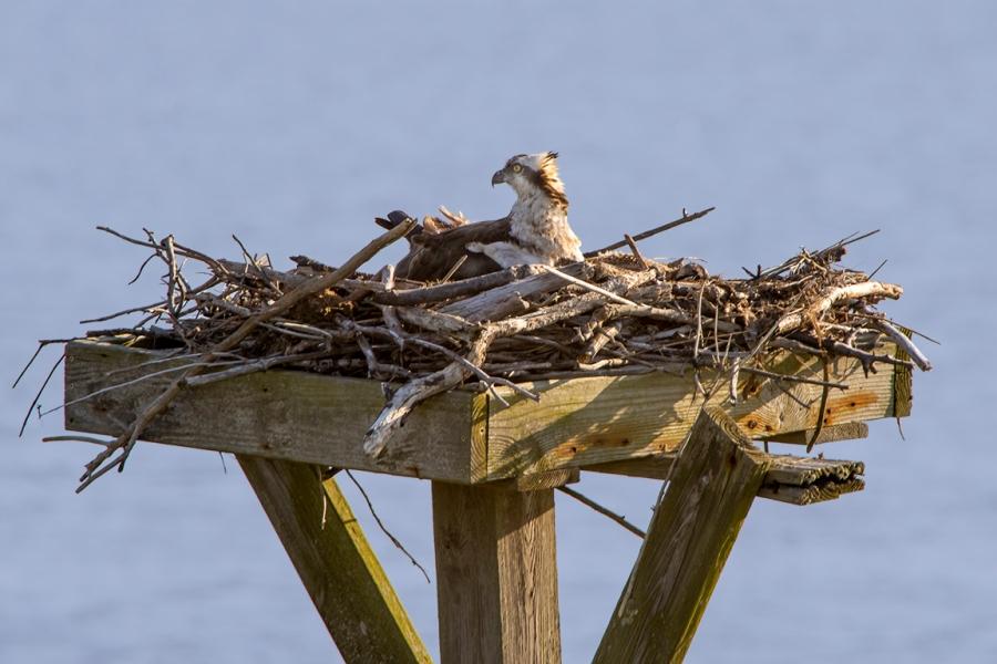 Osprey on Nest_v2_76A7119