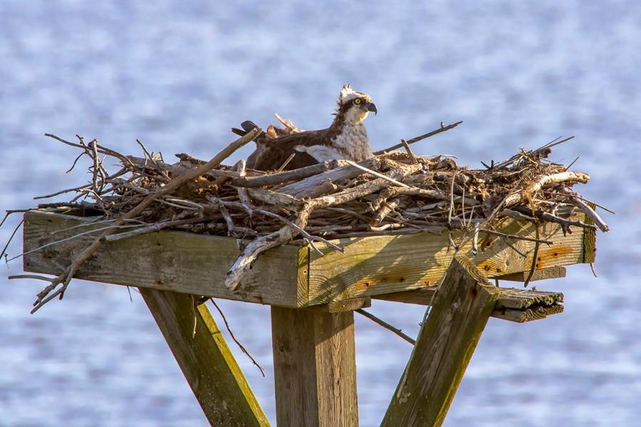 Osprey on Nest_v7_1200mm_76A7115