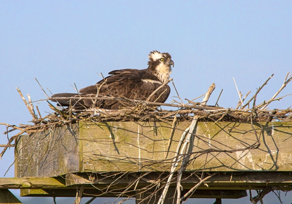 Osprey_nest_v2_Brig_1200mm_76A7373