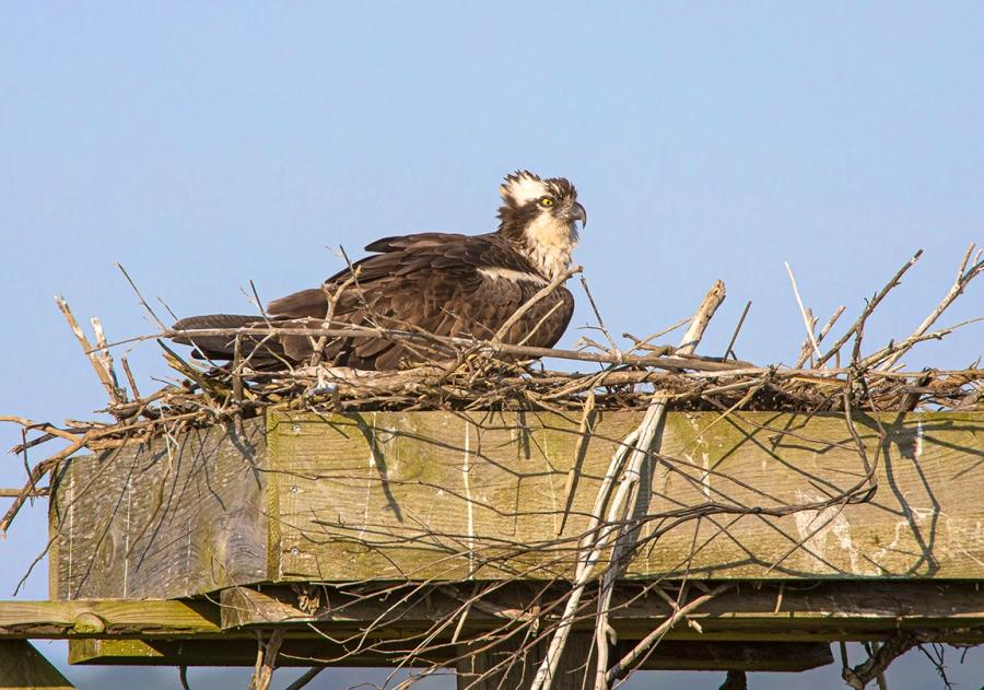Osprey_nest_v2_Brig_1200mm_76A7373