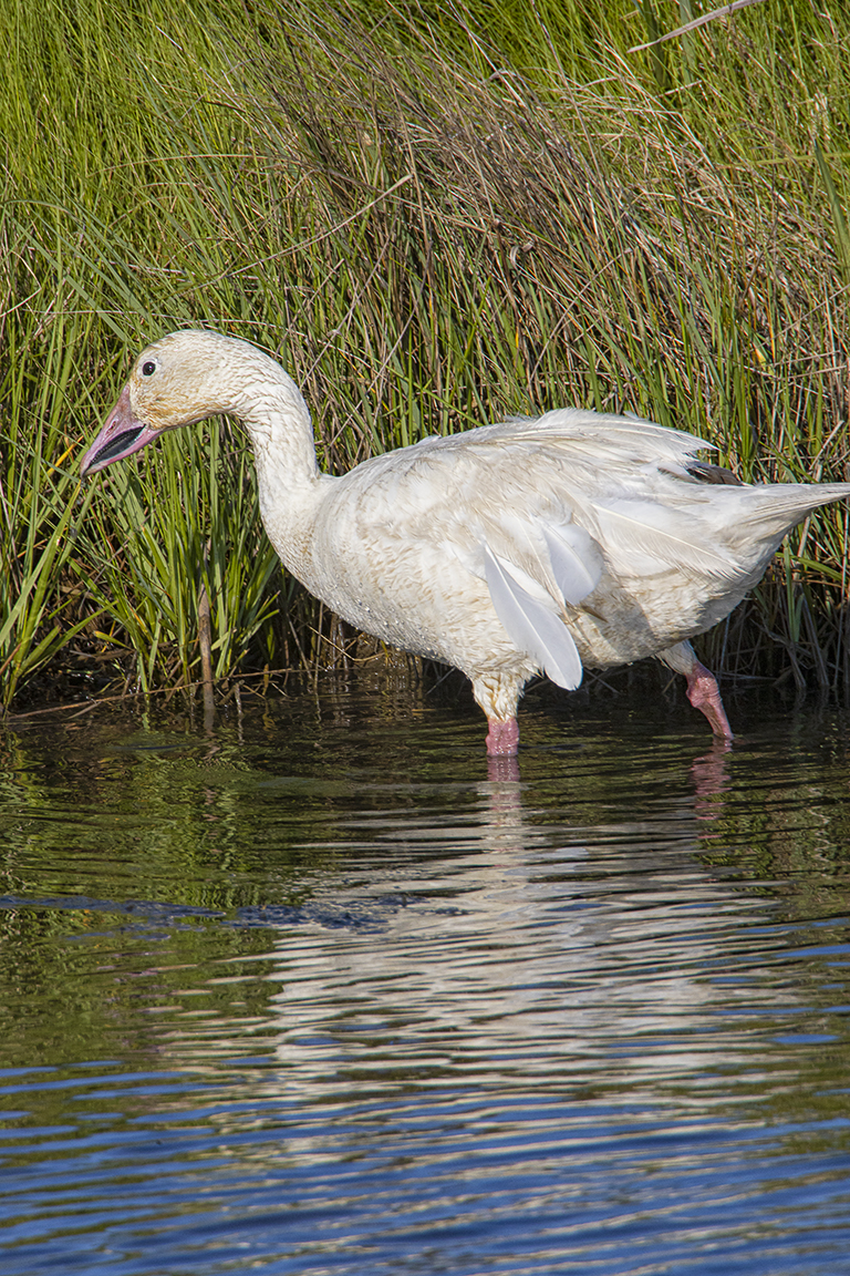 Snow Goose_in_Summer_v1_600mm_Brig_6_19_76A7242