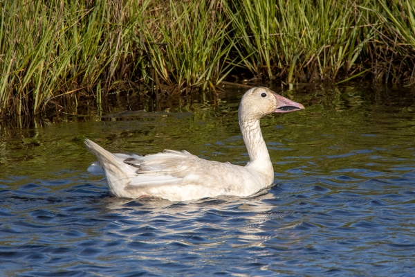 Snow_Goose_In_June_v2_6_19_76A7196