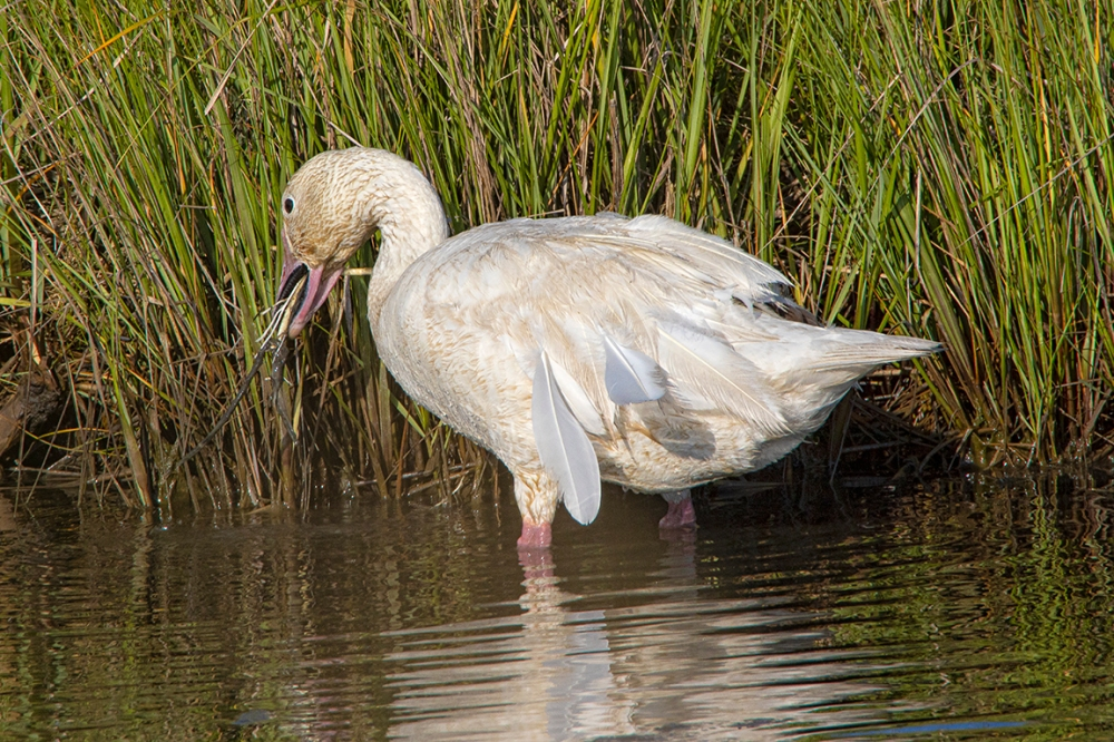 Snow_Goose_In_Summer_v2_600mm_6_19_76A7282