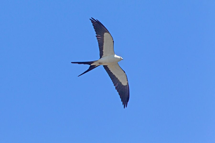 swallow-tailed kite_v2_LW_4_19_560mm_43G0622