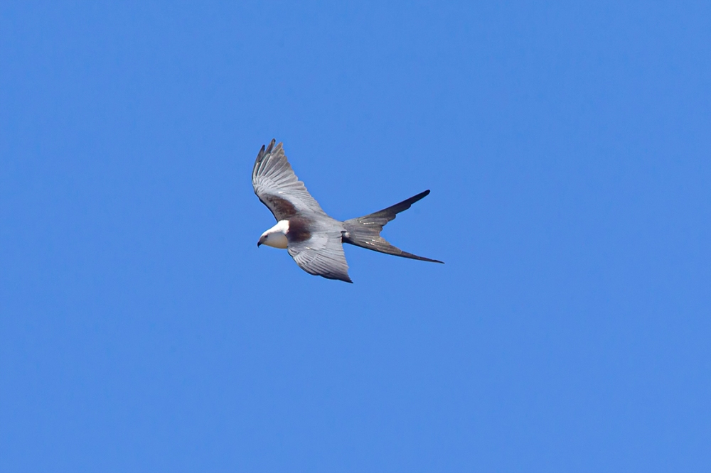swallow-tailed kite_v2_LW_4_19_560mm__43G0610