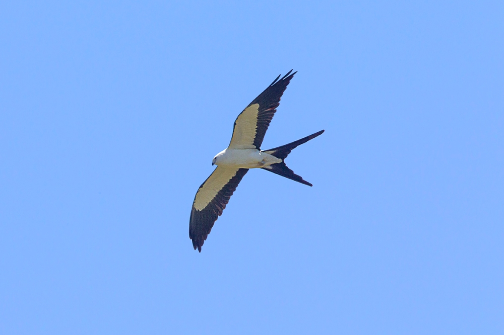 swallow-tailed kite_v3_LW_4_19_560mm_43G0595
