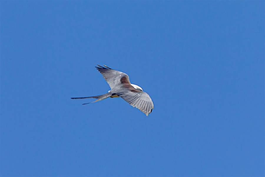 swallow-tailed kite_v3_LW_4_19_560mm_43G0609