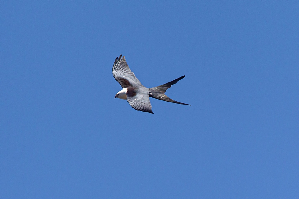 swallow-tailed kite_v3_LW_4_19_560mm_43G0610