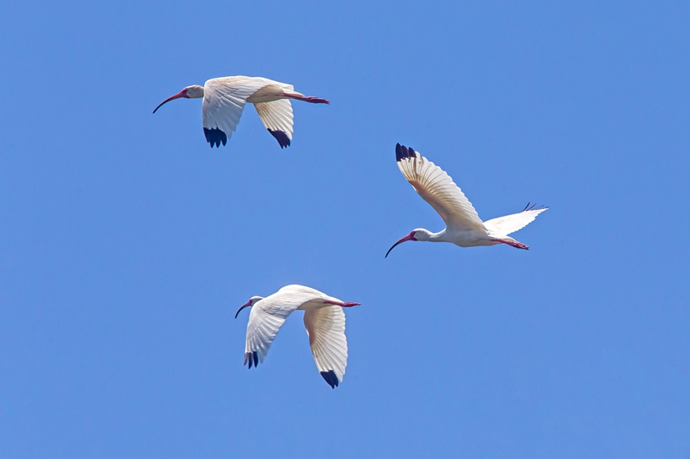 White_Ibis_Flt_v2_LW_4_19_560mm__43G8736