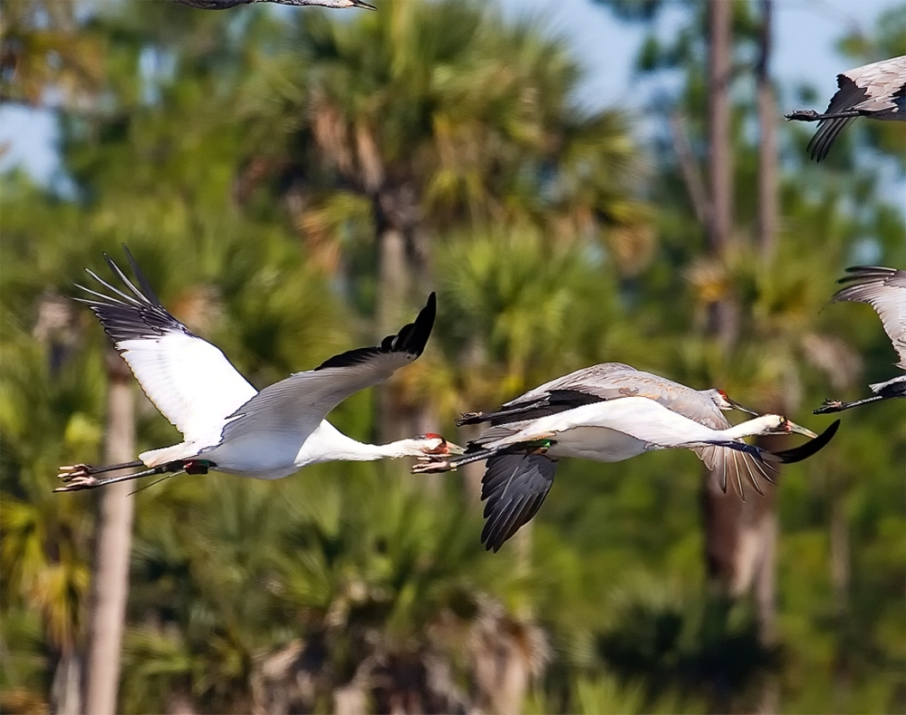 Whooping Cranes_v3_Lk Woodruff_800mm