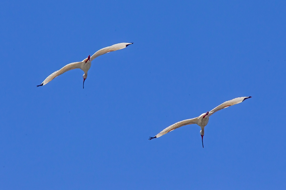 Wht_Ibis_Flight_v2_LW_4_19_560mm_43G8728