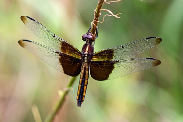 Widow Skimmer_female_DM_v2_43G6908