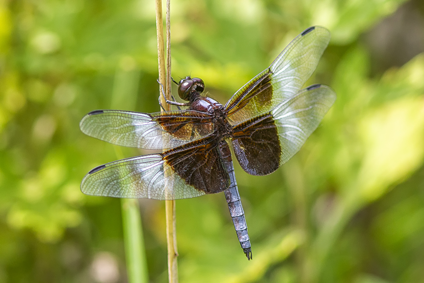 Widow Skimmer_male_DM 2019_43G6835