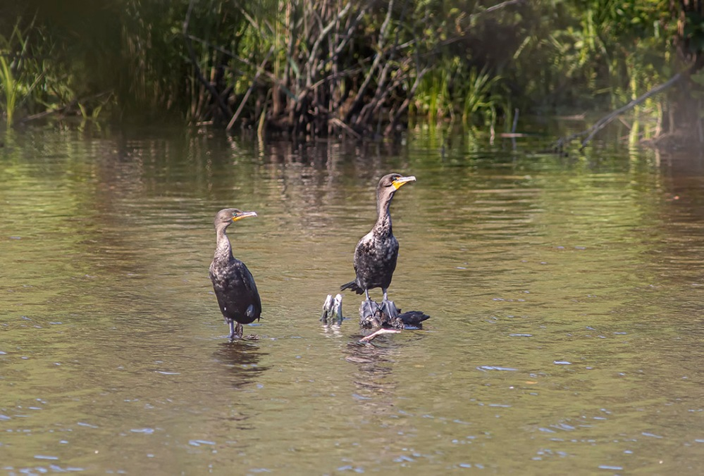 2_Cormorants_Closer_PP_v2_600mm_76A5539