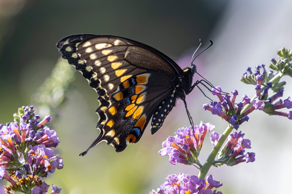 Black Swallowtail_Butterfly_v1_DM 8_19_76A2481