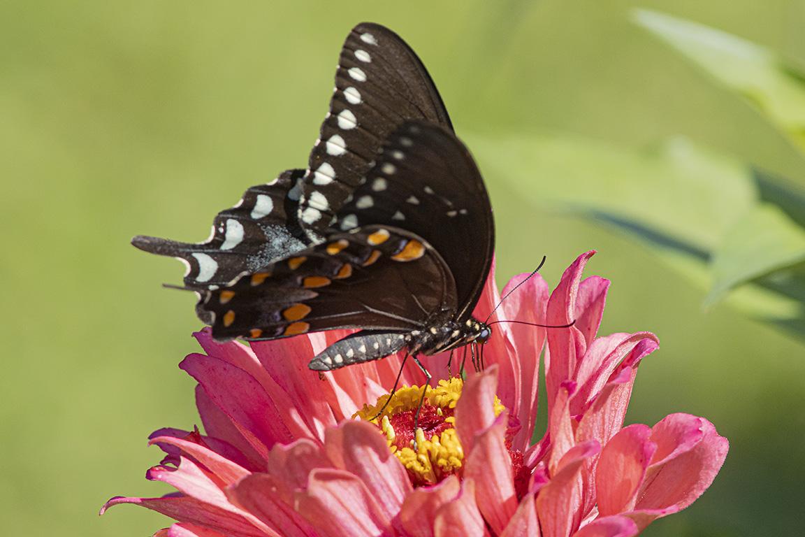 Black_Swallowtail_v2_DM_76A2559
