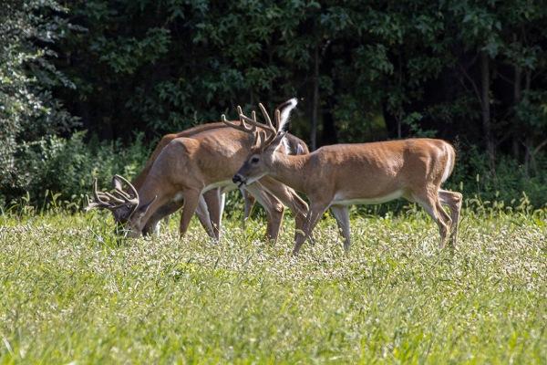 Deer_Males_v2_PP_8_19_76A5167