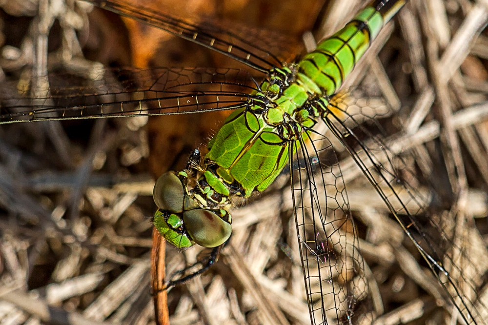 Eastern Pondhawk V3_MG_2625
