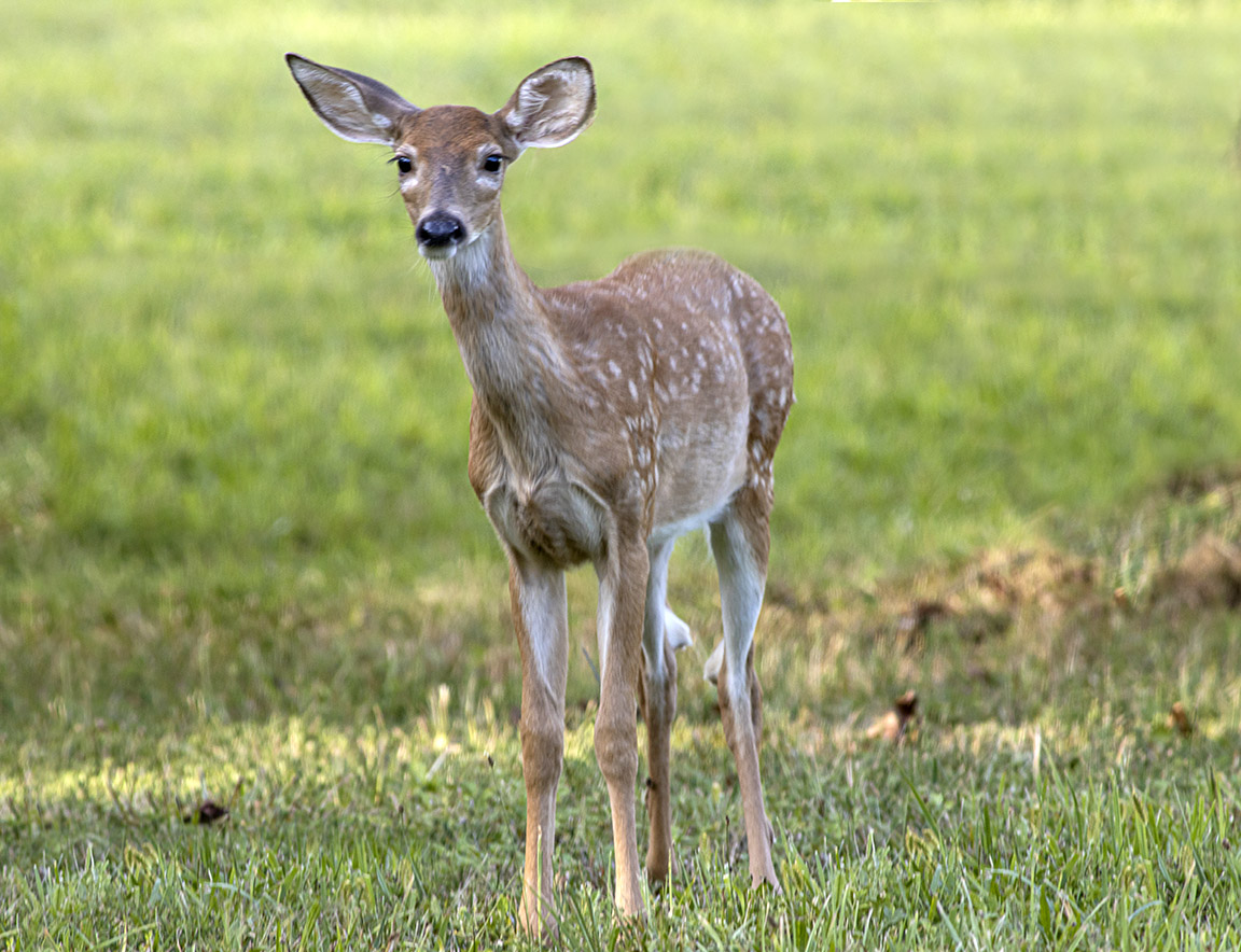 Fawn-v2 PP8_19_600mm