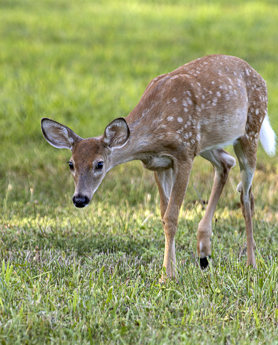 Fawn_PP_v2_600mm_8_19_76A5760