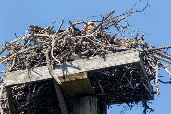 Osprey on nest_43G9677