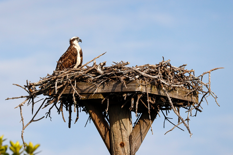 Osprey_Nest_v2_DD_600mm_76A0668