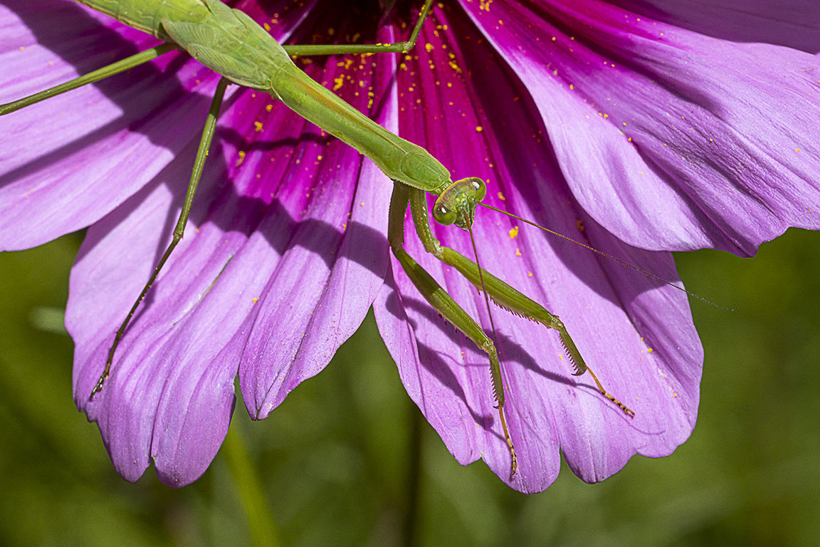 Praying Mantis on Cosmos_v1 _76A3494