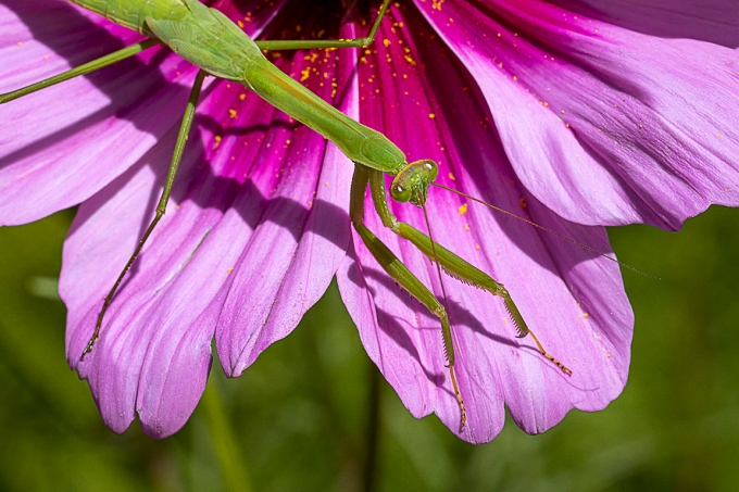 Praying Mantis on Cosmos_v1 _76A3494