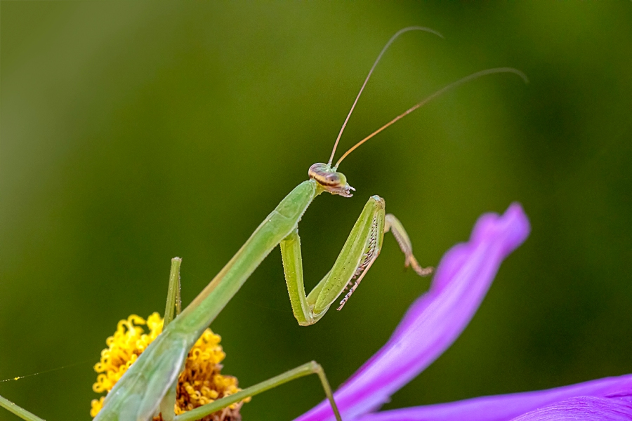 Praying_Mantis_2img stk_v1_150mm_w1_4X_210mm_76A5005