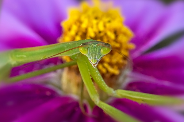 Praying_Mantis_2img stk_v4_150mm_w1_4X_210mm_6400_ISO_76A4856