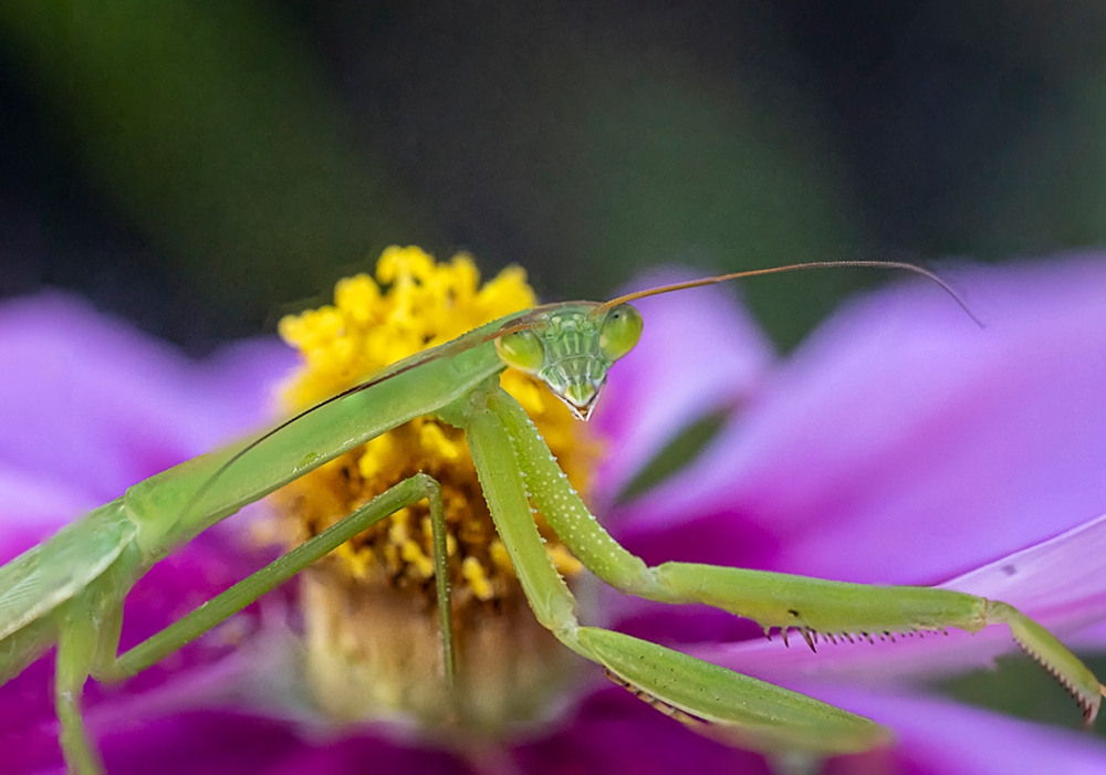 Praying_Mantis_5img stk_v6_6400_ISO_150mm_1_4X_6400_ISO