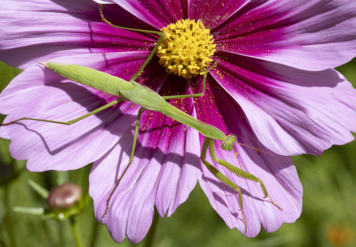 Praying_Mantis_vf2_1 image_8_19