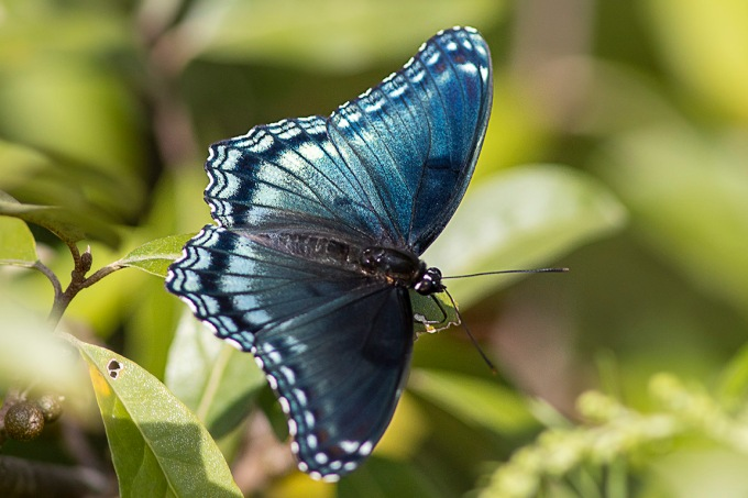 Red_Spotted Purple_Butterfly v1_PP_76A5316