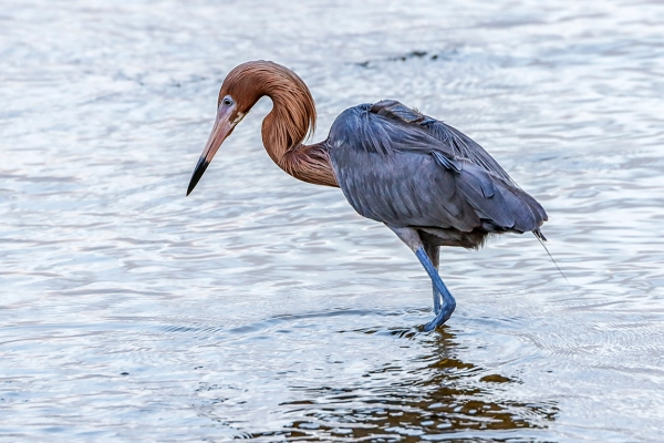 Reddish_Egret_v2_DD_5_19_400mm_1_4X_76A0440