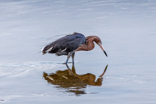 Reddish_Egret_v2_DD_5_19_400mm_1_4X__76A0471