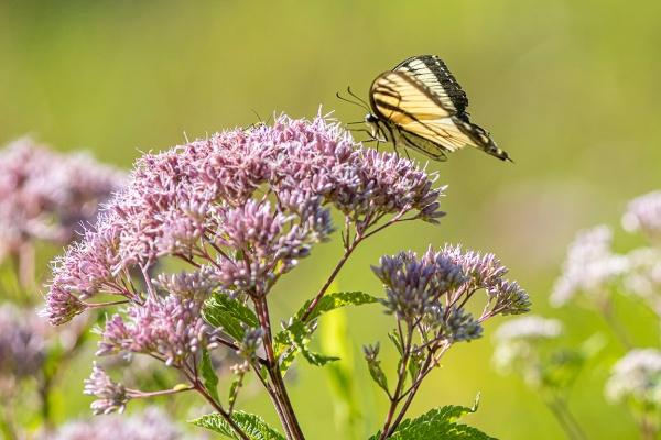 Yellow Swallowtail v1_DM__76A2421