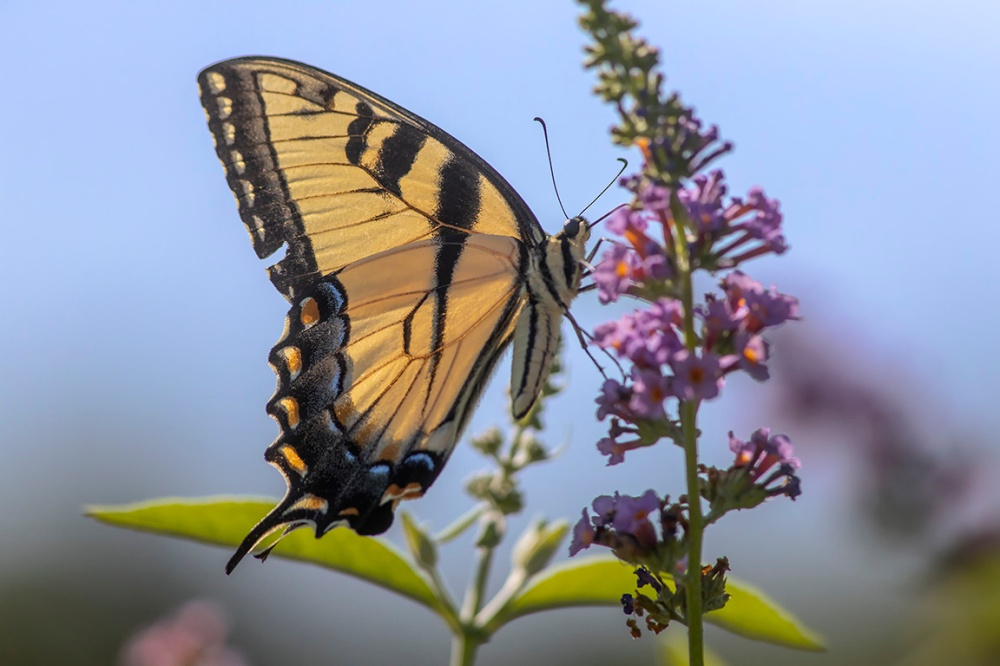 Yellow_Swallowtail_FM_v1_DM_76A2445