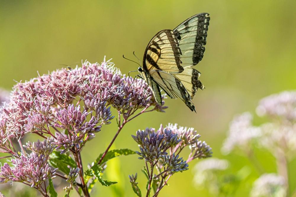 Yellow_Swallowtail_v1_DM_76A2414