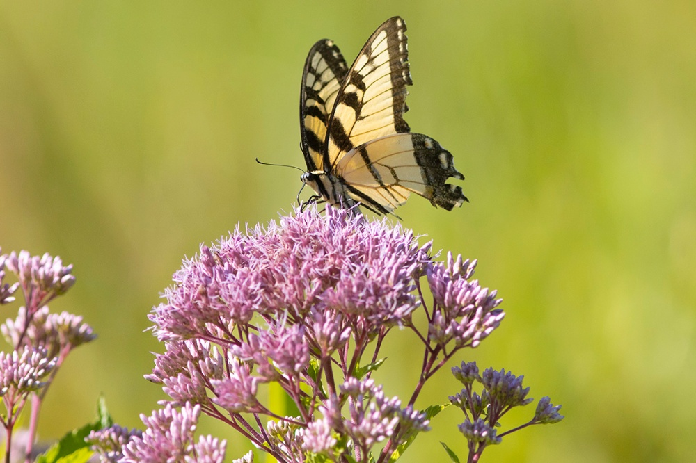 Yellow_Swallowtail_v5_DM__76A2391
