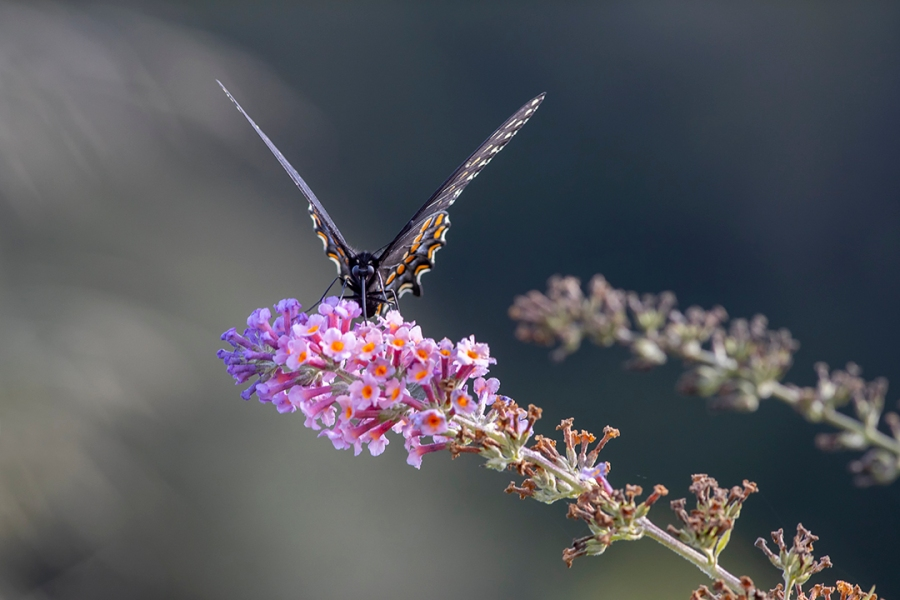Black_Swallowtail _v3_9 19_DM
